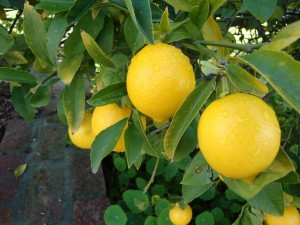 Limonero con hermosos limones