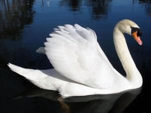 Cisne blanco