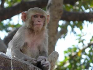 Postal: Mono meditando