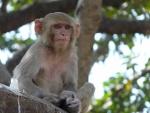 Mono meditando