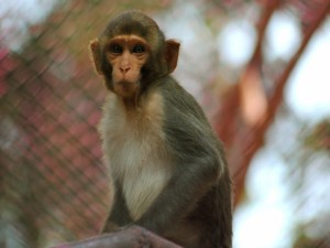 Postal: Un mono mirando atentamente