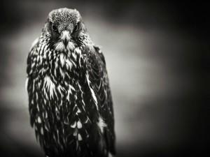 Halcón en blanco y negro