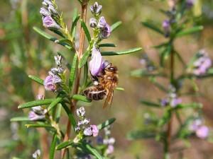 Postal: Abeja alimentándose de néctar