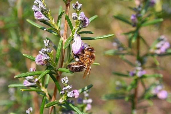 Abeja alimentándose de néctar
