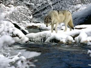 Postal: Lobo en la nieve