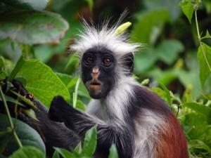 Postal: Mono de cara negra y pelo blanco