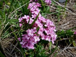 Postal: Torvisco de los Pirineos (Daphne cneorum)