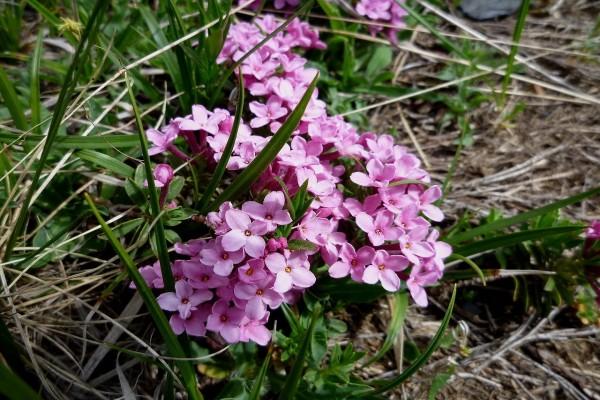 Torvisco de los Pirineos (Daphne cneorum)