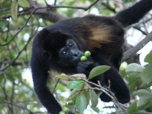 Postal: Mono negro cogiendo fruta