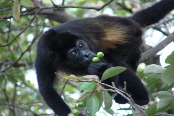 Mono negro cogiendo fruta