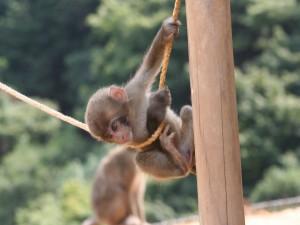 Postal: Pequeño mono colgado de una cuerda