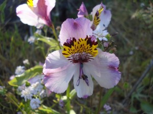 Astromelia con tonos lila