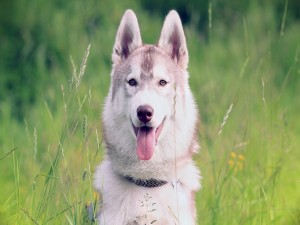 Postal: Perro sacando la lengua
