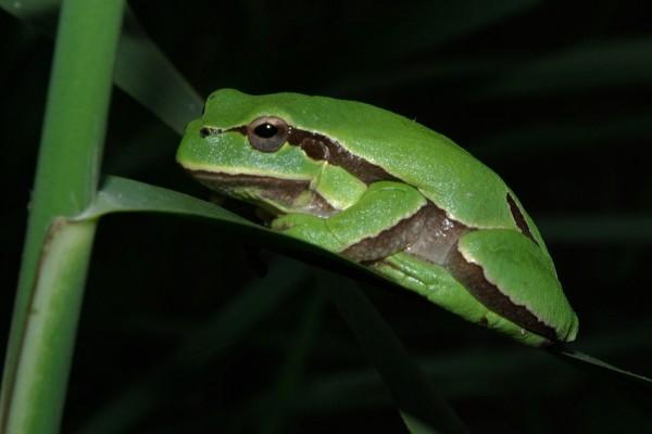 Ejemplar adulto de Ranita de San Antonio (Hyla molleri)