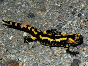 Postal: Salamandra común
