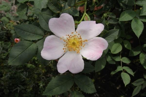 Flor de rosa silvestre