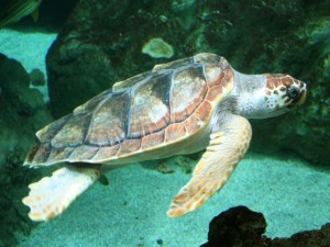 Una tortuga boba adulta (Caretta caretta)