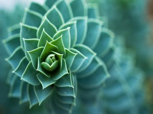 Cactus fractal