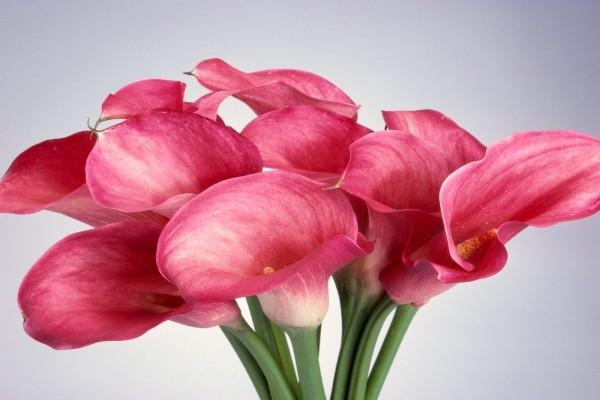 Ramo de calas rosas