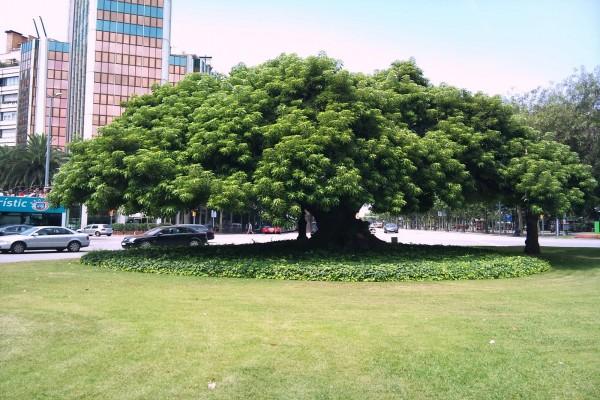 Árbol Ombú o Bellasombra