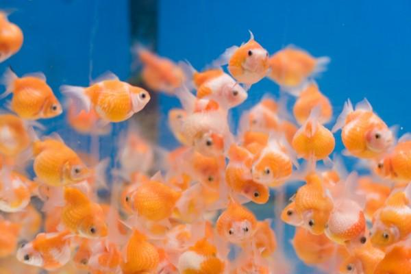 Pequeños Goldfish naranjas