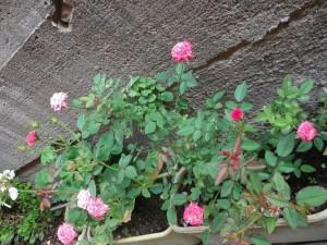 Postal: Macetas con rosas