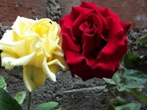 Postal: Rosas blanca y roja