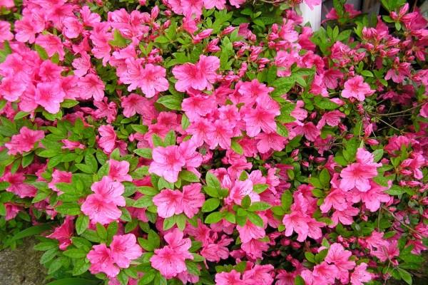 Azaleas rosas
