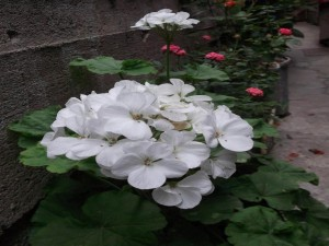 Postal: Hermosas flores blancas