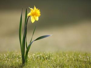 Narciso salvaje