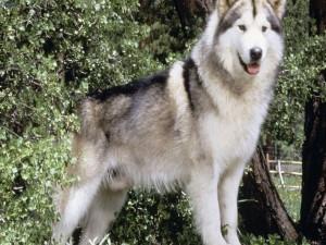 Postal: Perro de la raza Husky Siberiano
