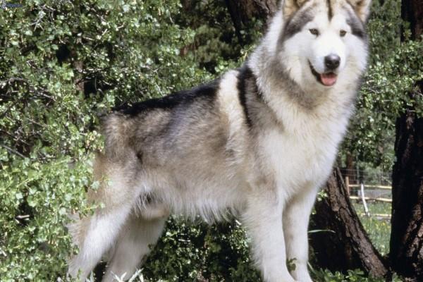 Perro de la raza Husky Siberiano