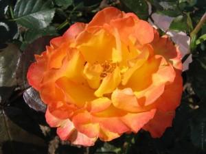 Postal: Flor naranja y amarilla