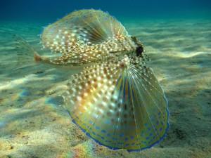 Dactylopterus volitans en el Mar Mediterráneo, Grecia