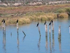 Postal: Cormoranes (Phalacrocorax carbo) en el margen del Guadalquivir, España