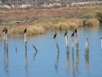 Cormoranes (Phalacrocorax carbo) en el margen del Guadalquivir, España