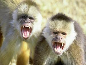 Postal: Monos muy enfadados