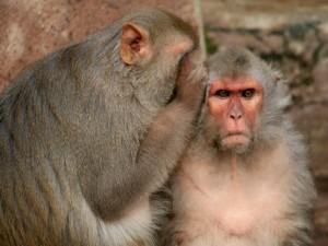 Postal: Dos monos