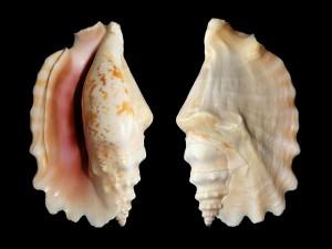 "Postal: Caracola marina ""Strombus sinuatus"""