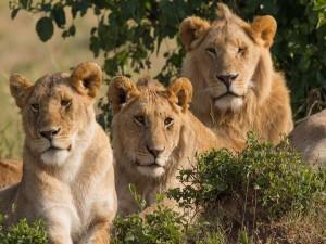 Postal: Tres leones (una hembra y dos machos)