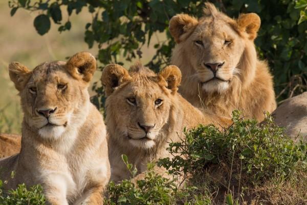 Tres leones (una hembra y dos machos)