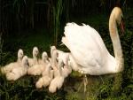 Cisne blanco adulto con sus polluelos