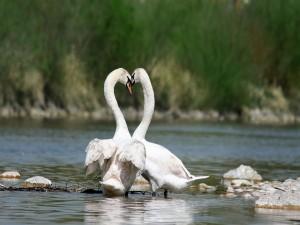 Postal: Una pareja de cisnes blancos (Cygnus olor)