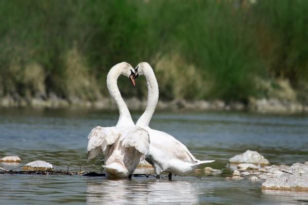 Una pareja de cisnes blancos (Cygnus olor)