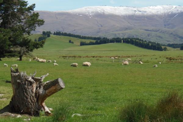 Ovejas pastando la verde hierba