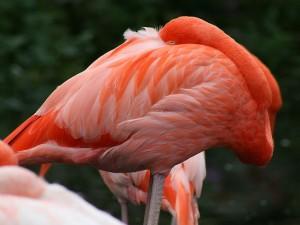 Flamenco en el Zoológico de Toronto