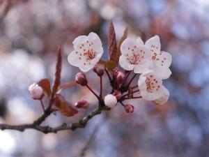 Postal: Flores blancas de cerezo