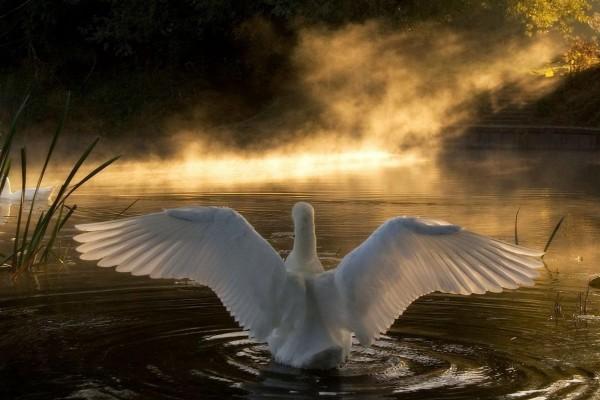 Cisne con las alas abiertas