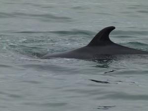 Orca cerca de Tadoussac, Canadá
