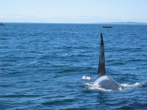 Postal: Orca en el Estrecho de Juan de Fuca